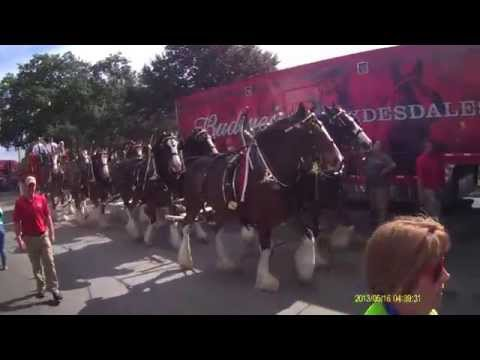 Budweiser Clydesdales Up Close!