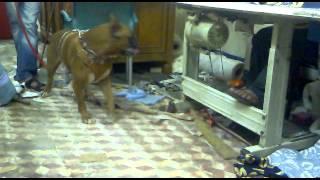getlinkyoutube.com-اجمل كلب بوكسر فى مصر