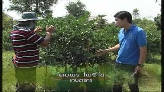 getlinkyoutube.com-มดเขียว มะนาววงบ่อ 2/3
