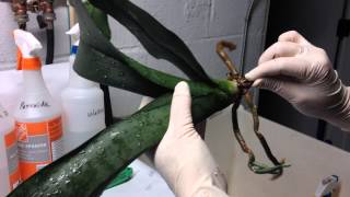 getlinkyoutube.com-Repotting orchids into the semi-hydroponic system