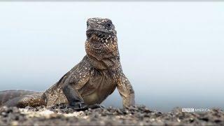 getlinkyoutube.com-NEW PREMIERE DATE: Feb. 18th   Iguana vs Snake - Planet Earth II on BBC America
