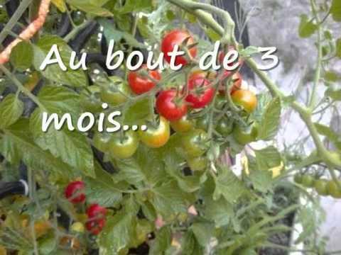 Faire pousser des tomates cerise sur son balcon
