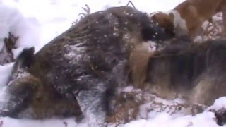 getlinkyoutube.com-Uživo lov na divlju svinju Majevica 02.01.2015.God