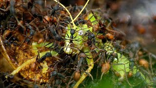 Army Ants Rampage Through The Forest  | The Hunt | BBC Earth width=