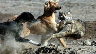 getlinkyoutube.com-Тайган берет волка!