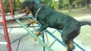 getlinkyoutube.com-Trained Rottweiler, REALLY AWESOME! (subtitles included)