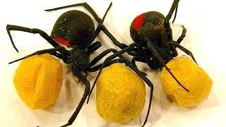 getlinkyoutube.com-Spider Egg Sac Vs Mortein Bug Spray Redback Spiderlings Dead Or Alive (Graphic Video)