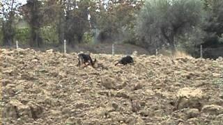 getlinkyoutube.com-Cuccioloni di 15 mesi in addestramento di Walter Ceci (Cell. 348.6128140)
