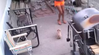 getlinkyoutube.com-My new puppy!!!!!