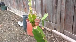 getlinkyoutube.com-Dragon Fruit--Pruning Time