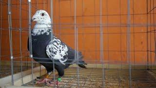 getlinkyoutube.com-Robert Henkel - Spotkanie z włoskimi hodowcami gołębi