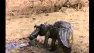 getlinkyoutube.com-Crocodile hunt the birds & Monkey. A amazing video.Skill of hunting.