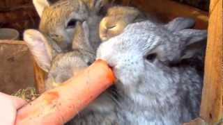 getlinkyoutube.com-Flemish Giant Bunny Rabbit and Babies Bunnies Eating Strawberry and Carrot