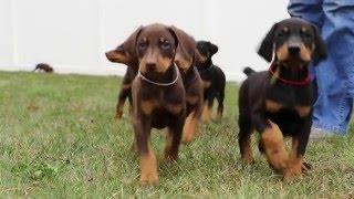 getlinkyoutube.com-6 week old Doberman puppies