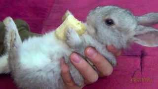 getlinkyoutube.com-Cute Baby Bunny Eating Banana - Close Up
