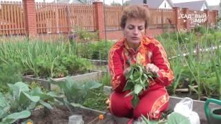 Как защитить капусту от вредителей Гусеницы на капусте.