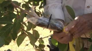 Growing Tips  Marcotting rambutans