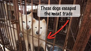 flushyoutube.com-From Cage to Couch: Dogs rescued from a Korean Meat Farm