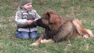 getlinkyoutube.com-Caucasian Ovcharka guarding children