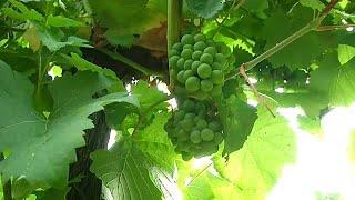 En Francia disminuye la producción de vino por las heladas