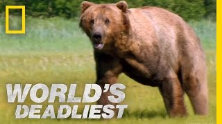 Grizzly Bear Attacks Prey | World's Deadliest