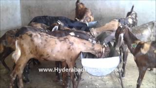 getlinkyoutube.com-Goat Farming in Hyderabad Livestock and Farms, Hyderabad, Andhra Pradesh, India