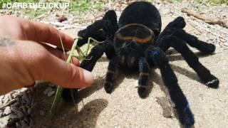 getlinkyoutube.com-Praying Mantis VS Tarantula