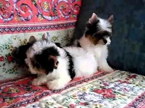 Micro Teacup Poodles vs Biewer Yorkie puppies
