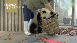 Watch: Giant pandas create trouble as staff cleans their house