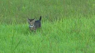 getlinkyoutube.com-子猫を迎えに行くゴールデンレトリバ 犬と猫の散歩 Hero dog of lost child's kitty 太郎とコボ