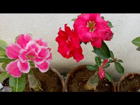 How to grow Adenium plant with care