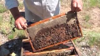 getlinkyoutube.com-Минути за пчеларство,разговор с Иван Бакърджийски 2ра част