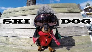 "getlinkyoutube.com-""SKI DOG"" - Crusoe the Wiener Dog Loves Skiing"