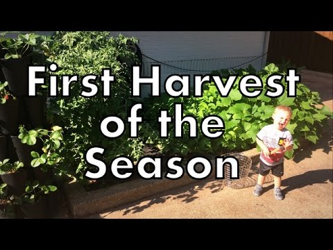 First Harvest of the Season in the Garden