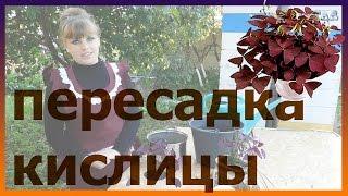 getlinkyoutube.com-КИСЛИЦА пересадка выращивание  уход  полив болезни посадка! Как посадить кислицу.