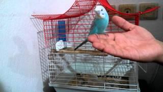 getlinkyoutube.com-Muhabbet Kuşu nasıl eğitilir? Nasıl konuşturulur?