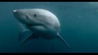 Homem pula na água e da de cara com tubarão branco na Austrália (2014)