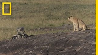 getlinkyoutube.com-Photographing Lions With Technology | National Geographic