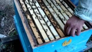 getlinkyoutube.com-Апарат за производство на пчелни майки