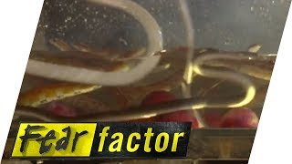 getlinkyoutube.com-Guy is very scared of Snakes! | Fear Factor Extra
