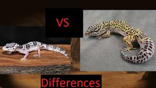 getlinkyoutube.com-Mack snow vs Normal Leopard gecko differences