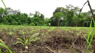 getlinkyoutube.com-Cómo cultivar Maíz - TvAgro por Juan Gonzalo Angel - Maiz