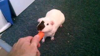 getlinkyoutube.com-Guinea Pig doing Tricks, Jumping and Following me around the house.