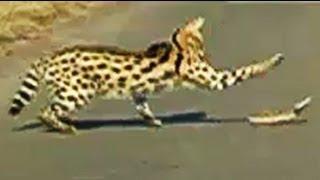 getlinkyoutube.com-Serval Attacking A Puff Adder Snake