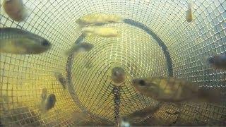 getlinkyoutube.com-Catching Fish from Inside a Minnow Trap POV 2