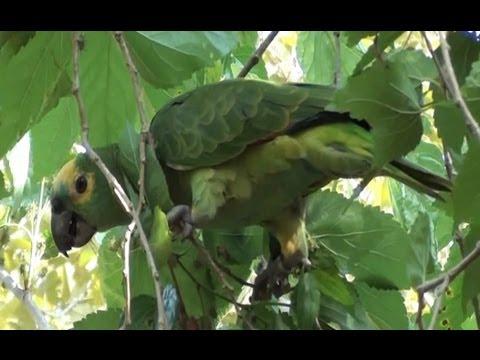 Psitacídeos, Papagaio,  Amazona aestiva,  Pássaros silvestres,