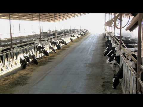 Increasing Milk Production By Keeping Dairy Cows Cool