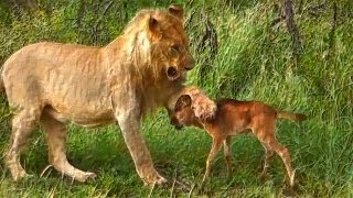 getlinkyoutube.com-Lion saves a baby calf from another lion attack
