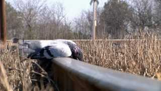 getlinkyoutube.com-Dropping Pigeons | GAMO Air Rifle Hunting