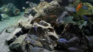 getlinkyoutube.com-Mixed Cichlid aquarium with a refined Hamburg Matten Filter